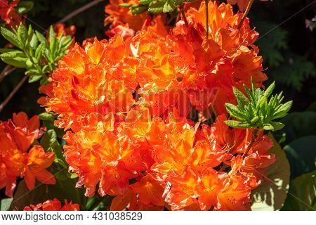 Summer Flowering Bright Orange Flowers On A Deciduous Azalea Shrub, Rhododendron Gibraltar. Beautifu