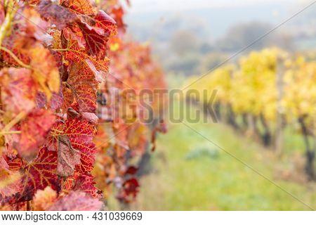 Red autumn vineyard, Southern Moravia, Czech Republic