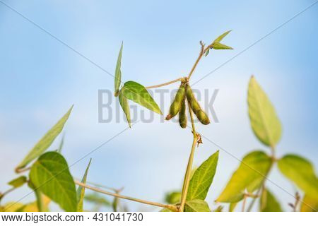 Soybean Pods On A Soybean Plant Against The Blue Sky In The Morning Sun. Stalk Of A Ripening Plant I