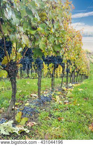 Blue grapes Cabernet Moravia in autumn vineyard, Southern Moravia, Czech Republic
