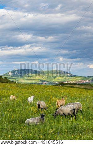 sheep in spring landscape near Dolni Dunajovice, Palava region, South Moravia, Czech Republic