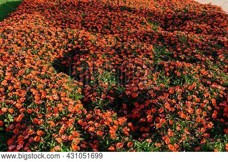 Plantation Of Red Flowers Being Illuminated By Sunset Light.