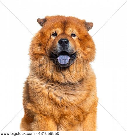 Head shot of Reddish coated Chow Chow showing its Bleu tongue and looking at camera, isolated