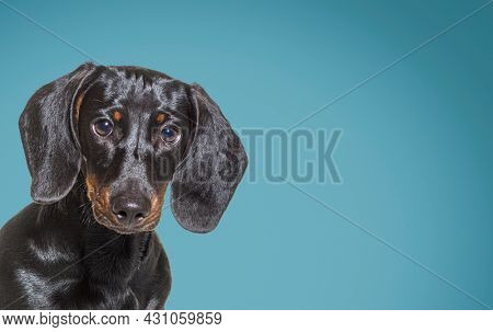Head shot of a Black and tan dachshund dog looking at camera against blue background