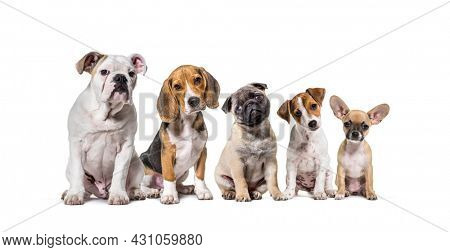 Group of different breed dogs sitting in a row and facing at camera, isolated on white