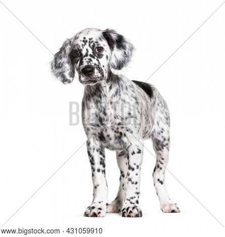 Standing Puppy english setter spotted black and white, two months old, Isolated