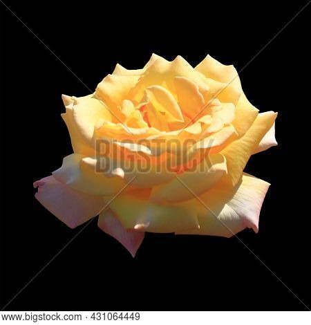 Art Photo Rose Petals Isolated On The Black Background. Rose Flower Closeup. For Design, Texture, Ba