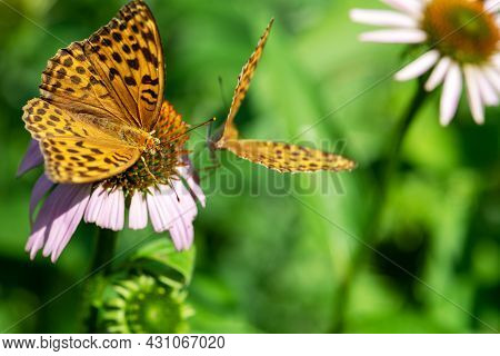 Two Silver-washed Fritillary (argynnis Paphia) Butterflies Sitting On Purple Flower Blossom With Cop