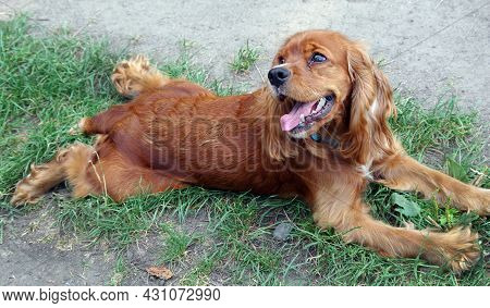 English Cocker Spaniel. Cocker Spaniel In The Grass. Spaniel Dog Portrait. Dog With Open Mouth. Dog