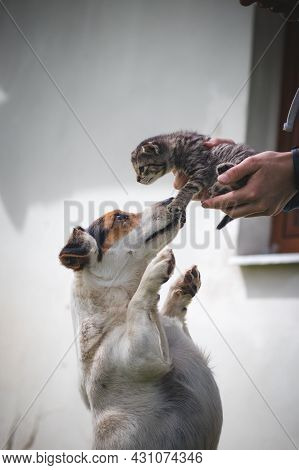 Striped Kitten Kisses His Protective Female Dog, Who Defends Him And Follows Him Around The Garden.