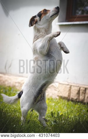 Protective Jack Russell Terrier With A Calm And Affectionate Expression Stands In The Middle Of The