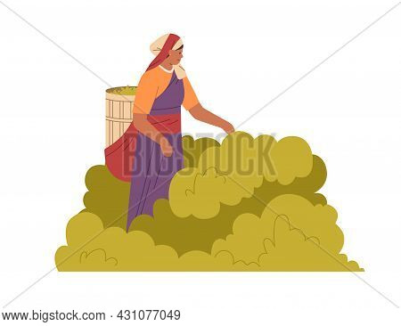 Indian Woman Farmer Picking Leaf Of Tea Plant, Collecting Them Into Basket. Farm Worker Working And