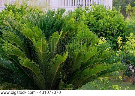 Cycas Revoluta. Green Palm Tree On Seashore. Vibrant Green Palm Leaves In Sunlight Day. Rest, Vacati