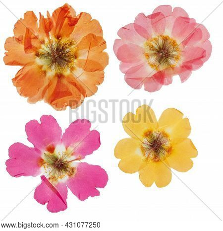 Pressed And Dried Flower Purslane (portulaca), Isolated On White Background. For Use In Scrapbooking