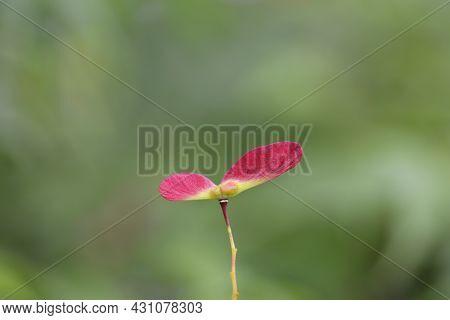Japanese Maple Seed - Latin Name - Acer Palmatum