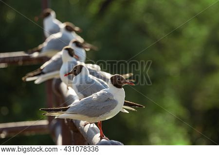 A Group Of Lake Gulls Are Sitting On The Railing On A Blurry Forest Background.
