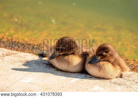 Newborn Ducklings Bask In The Sun Near The Pond.