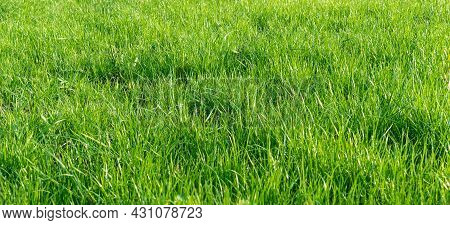 A Lawn Of Fresh Grass. A Grass Field Illuminated By Sunlight. Growing Greenery. Bright Green Natural