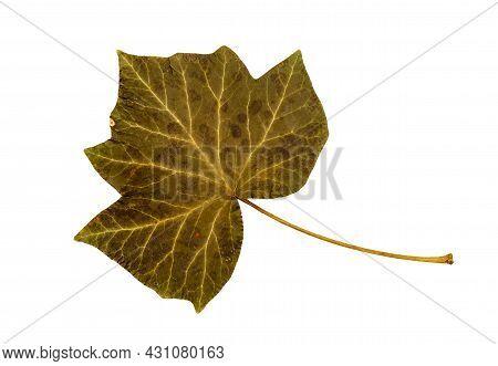 Isolated Green English Ivy, Hedera Helix Leaf On White Background