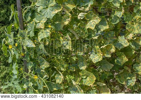 Cucumber Leaves Infected By Downy Mildew (pseudoperonospora Cubensis) In The Garden. Cucurbits Disea
