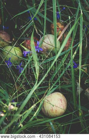 A Pile Of Rotten Apples Under A Tree In The Grass.