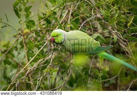 Rose Ringed Parakeet Or Ring Necked Parakeet A Parrot Portrait From Keoladeo National Park Or Bharat