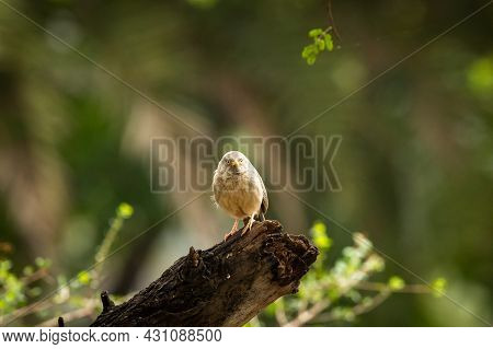 Jungle Babbler Portrait Perched On Branch At Keoladeo National Park Or Bharatpur Bird Sanctuary Raja
