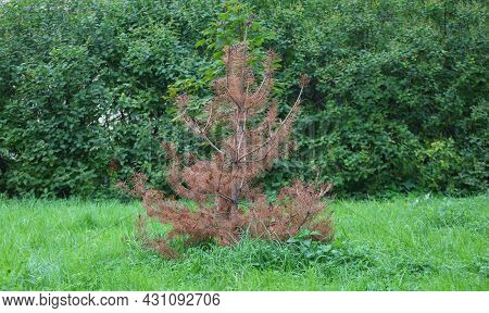 A Dried Pine Tree In A Green Glade
