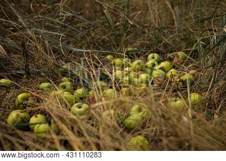 Green Apples On The Grass Under Apple Tree. Autumn Background - Fallen Apples On The Grass Ground In