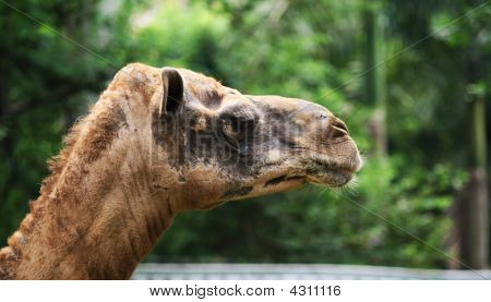 Camel head in the zoo. Green background. Brown color. Mammal. poster