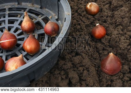 Planting Tulip Bulbs In The Ground In The Fall In Your Garden. Options For Planting Tulip Bulbs In B