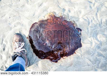 A Very Large Lions Mane Jellyfish - Cyanea Capillata - Stranded On The Beach