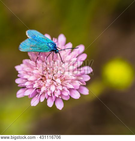 Bright Turquoise Butterfly Adscita Statices On A Pink Flower.