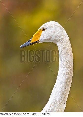 Whooper Swan (cygnus Cygnus) Head Of Wildfowl Bird Against Green Background. Wildlife Scene In Natur