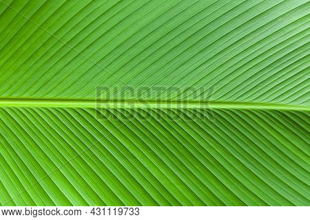 Close - Up Of Green Leaves Nature Background. Nature Background Of Tree Leaves Texture And Backgroun
