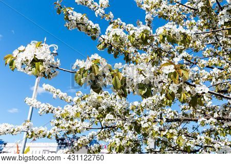 Blooming Branches Of An Apple Tree. Beautiful Blooming Apple Tree In Spring On A Blue Sky Background