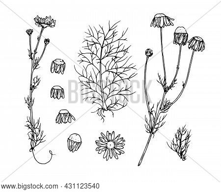Vector Set Of Medicinal Chamomile. Drawn In The Sketch Style Of A Wild Daisy Flower, An Isolated Out
