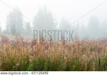 Autumn Forest Glade With Faded Fireweed In The Morning Fog