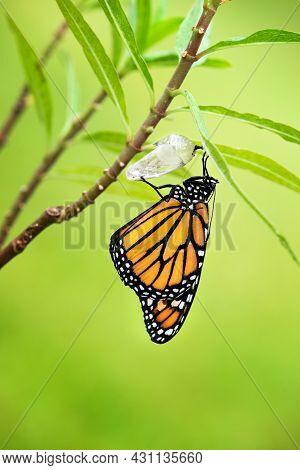Newly Emerged Monarch Butterfly (danaus Plexippus) And Its Chrysalis Shell Hanging On Milkweed Branc
