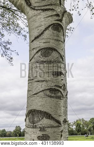 Grey Poplar Populus X Canescens In A Park Looks Like A Tree With Eyes.
