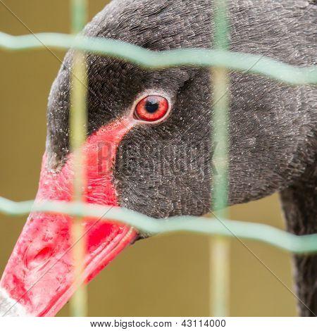 Black Swan (cygnus Atratus) In Captivity