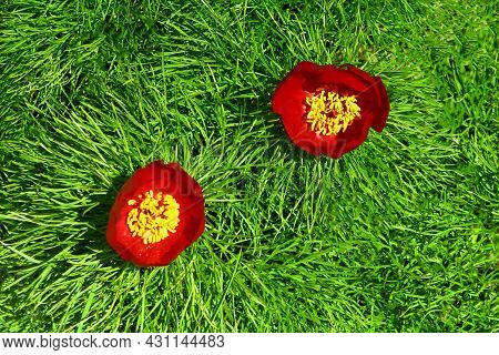 Beautiful Red Flowers Grow In The Mountains. Unusual Purple Plants On The Background Of Green Grass