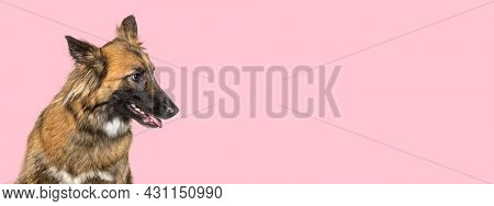 mixed breed dog between malinois and border collie against pink background