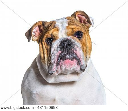English Bulldog portrait in front of a white background