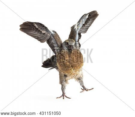 Young domestic pigeon falling out of the nest taking its first take off, learning to flight, against white background