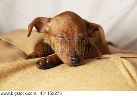 A Charming Puppy Sleeps. The Concept Of Caring And Attention To Pets.