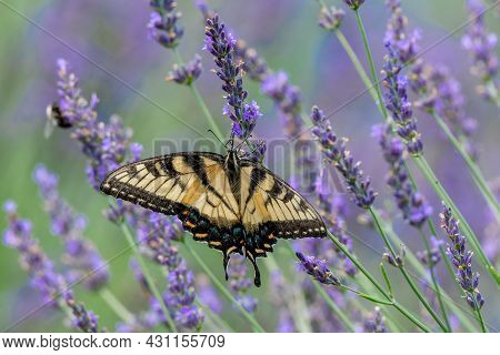 Closeup Of A Canada Tiger Swallowtail Butterfly Pollinating A Lavender Flower - Michigan