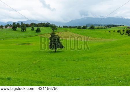 Overview of a green meadow with cows eating grass and a tree. Copy space