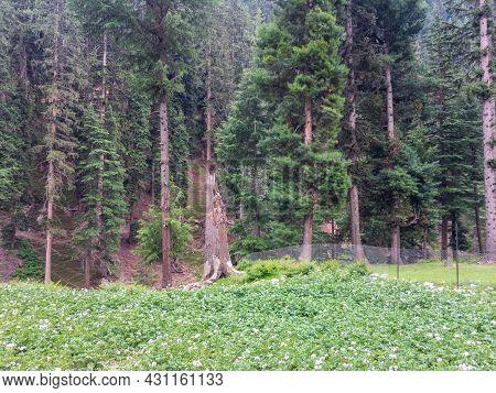 Potato Crop Fields In Bluewater Kalam Swat Valley Paksitan