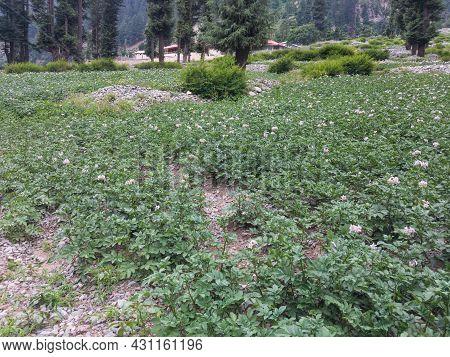 Potato Farming In Kalam Swat Kpk Pakistan